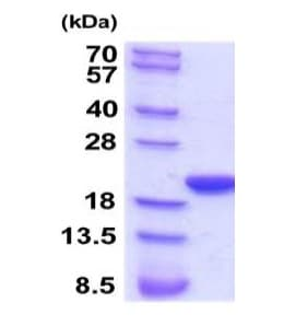 SDS-PAGE - Recombinant Rat Cyclophilin F protein (ab201871)