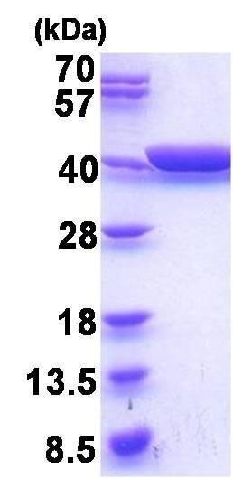 SDS-PAGE - Recombinant <em>E. coli </em> Glycerol dehydrogenase protein (ab201880)