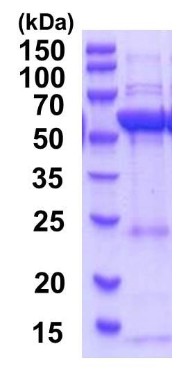 SDS-PAGE - Recombinant Human HMGCS1 protein (ab201881)