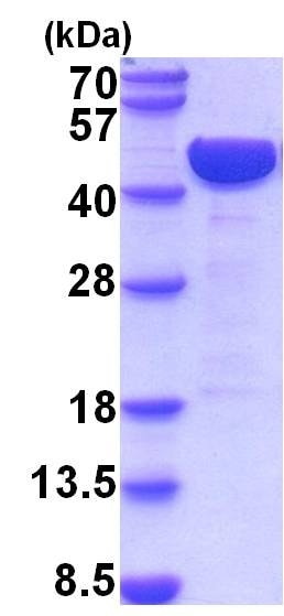 SDS-PAGE - Recombinant Mouse LRPAP1 protein (ab201883)