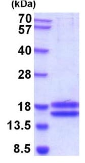 SDS-PAGE - Recombinant Human IL-17A protein (ab201893)