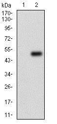 Western blot - Anti-PER3 antibody [4B9D7] (ab201940)