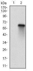 Western blot - Anti-Rb2 p130 antibody [2C8A8] (ab201943)
