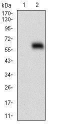 Western blot - Anti-HOXB4 antibody [3A2F2] (ab201957)