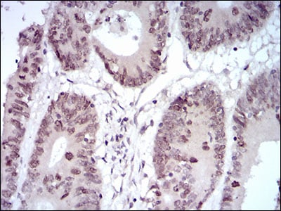 Immunohistochemistry (Formalin/PFA-fixed paraffin-embedded sections) - Anti-HOXB4 antibody [3A2F2] (ab201957)