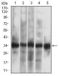 Western blot - Anti-Caspase-7 antibody [4D10B2] (ab201959)