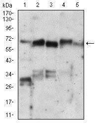 Western blot - Anti-Ku70 antibody [7A9E7] (ab201963)