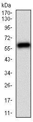 Western blot - Anti-CamKII gamma antibody [8G10C1] (ab201966)