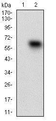 Western blot - Anti-CD68 antibody [3F7D3] (ab201973)