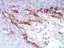 Immunohistochemistry (Formalin/PFA-fixed paraffin-embedded sections) - Anti-Ferritin Light Chain antibody [8E1E7] (ab201975)