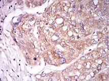 Immunohistochemistry (Formalin/PFA-fixed paraffin-embedded sections) - Anti-TIE1 antibody [8D12B10] (ab201977)