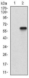 Western blot - Anti-CD200 / OX2 antibody [6E8B11] (ab201984)