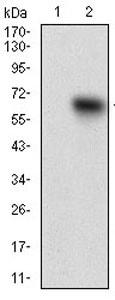 Western blot - Anti-TIE1 antibody [8D12D2] (ab201986)