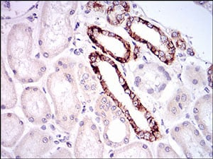 Immunohistochemistry (Formalin/PFA-fixed paraffin-embedded sections) - Anti-TIE1 antibody [8D12D2] (ab201986)