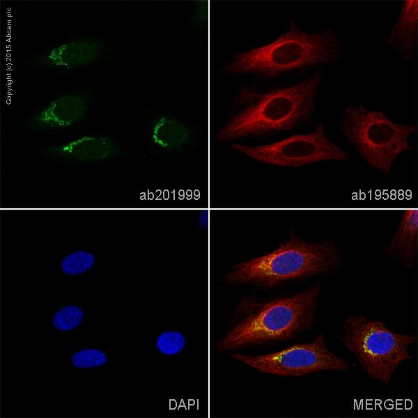 Immunocytochemistry/ Immunofluorescence - Anti-58K Golgi protein antibody [58K-9] - Golgi Marker (Alexa Fluor® 488) (ab201999)