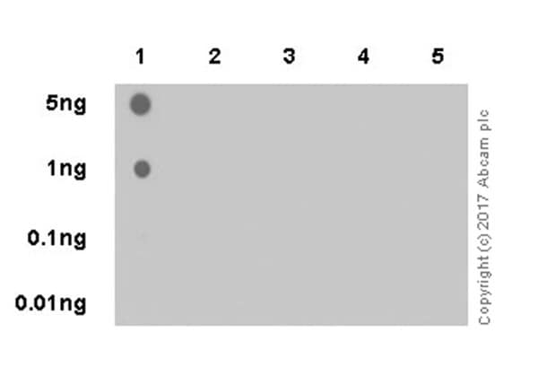 Dot Blot - Anti-Histone H4 (mono methyl R78) antibody [EPR19561] (ab202036)