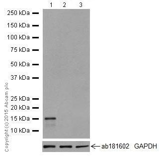Western blot - Anti-REG3A + REG3G antibody [EPRR18188] (ab202057)