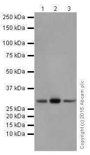 Western blot - Anti-PMM1 antibody [EPR17844] (ab202058)