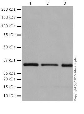 Western blot - Anti-Rad51D antibody [EPR16205] (ab202063)