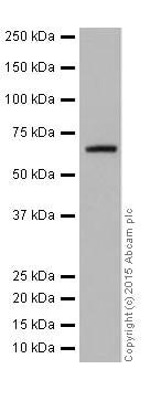 Western blot - Anti-CDT1/DUP antibody [EPR17891] (ab202067)