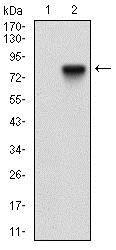 Western blot - Anti-CD73 antibody [4G6E3] (ab202122)
