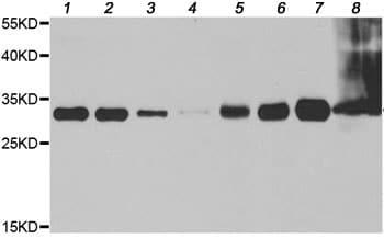 Western blot - Anti-IMPA1 antibody (ab202131)