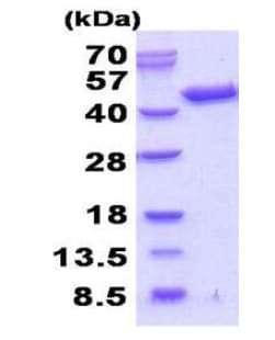SDS-PAGE - Recombinant Human Septin 3 protein (ab202152)