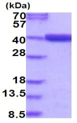 SDS-PAGE - Recombinant Human MTHFD2 protein (ab202178)