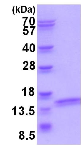 SDS-PAGE - Recombinant Human ATP6V1F protein (ab202196)