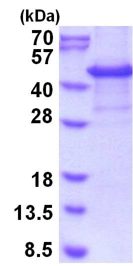 SDS-PAGE - Recombinant Human CASP protein (denatured) (ab202201)