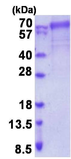 SDS-PAGE - Recombinant Human FARSLB protein (denatured) (ab202202)