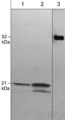 Western blot - Anti-CDC42 antibody [M430] (ab202280)