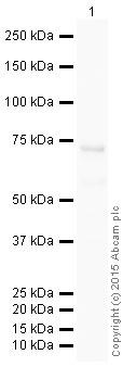 Western blot - Anti-p63 antibody [EPR5701] (HRP) (ab202357)