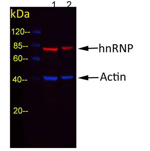 Western blot - Goat Anti-Rabbit IgG H&L (DyLight® 488) preadsorbed (ab202372)