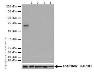 Western blot - Anti-LRMP antibody [EPR17852] (ab202418)