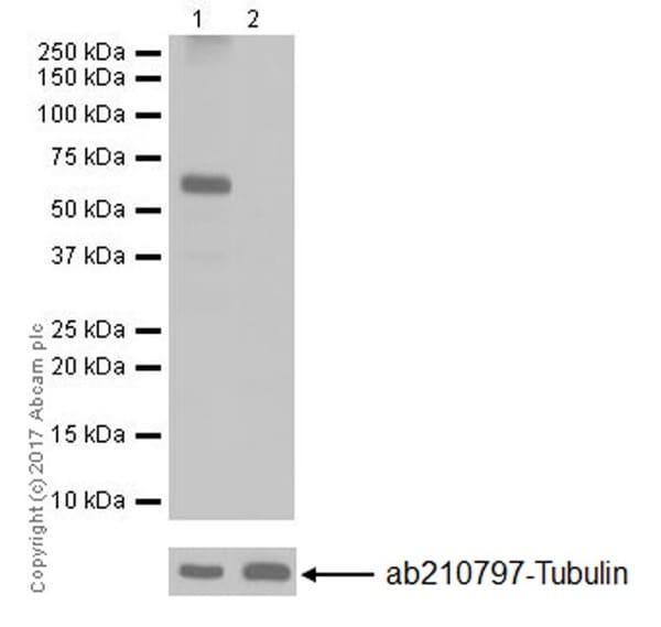 Western blot - Anti-SET5 antibody [EPR20102] (ab202437)