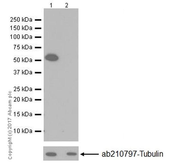 Western blot - Anti-RMS1 antibody [EPR20103] (ab202438)