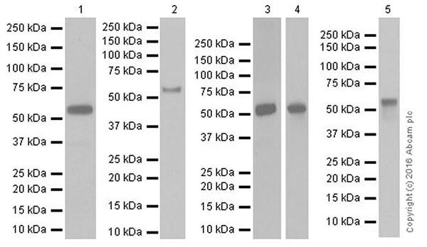 Western blot - Anti-Smad2 + Smad3 antibody [EPR19557-4] - ChIP Grade (ab202445)
