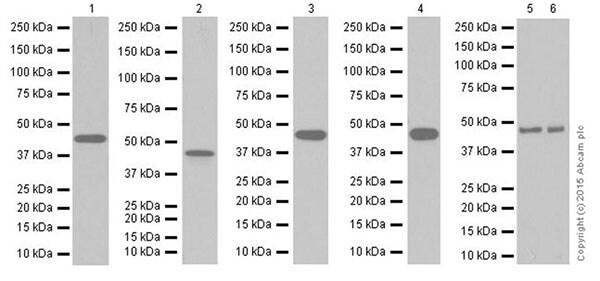 Western blot - Anti-PDK1 antibody [EPR19571] (ab202468)