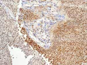 Immunohistochemistry (Formalin/PFA-fixed paraffin-embedded sections) - Anti-Cullin 1/CUL-1 antibody [EPR3103Y] - BSA and Azide free (ab202555)