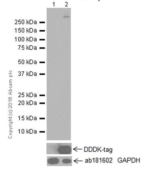 Western blot - Anti-PCDH15 antibody [EPR19600] (ab202560)
