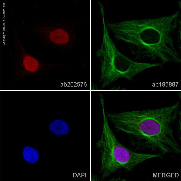 Immunocytochemistry/ Immunofluorescence - Anti-Histone H2B antibody [mAbcam 64165] (Alexa Fluor® 647) (ab202576)