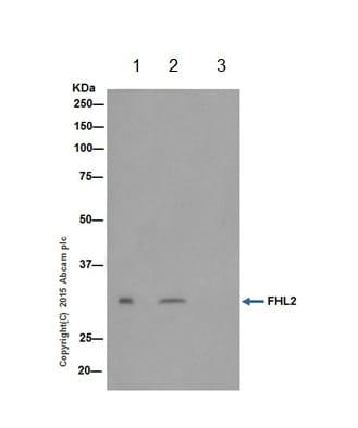 Immunoprecipitation - Anti-FHL2 antibody [EPR17860-20] (ab202584)