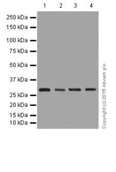 Western blot - Anti-FHL2 antibody [EPR17860-20] (ab202584)