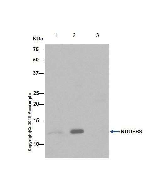 Immunoprecipitation - Anti-NDUFB3 antibody [EPR15571] (ab202585)