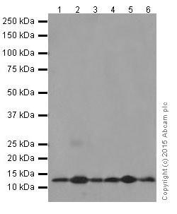 Western blot - Anti-NDUFB3 antibody [EPR15571] (ab202585)