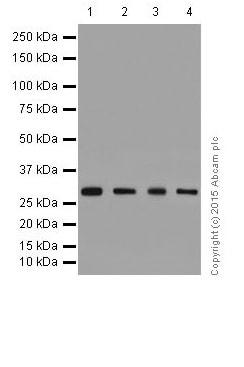 Western blot - Anti-FHL2 antibody [EPR17860-23] (ab202586)