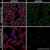 Immunocytochemistry/ Immunofluorescence - Anti-FHL2 antibody [EPR17860-23] (ab202586)