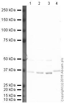 Western blot - HRP Anti-IKB alpha antibody [E130] (ab202646)