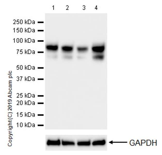 Western blot - Anti-O-Linked N-Acetylglucosamine antibody [EPR19847] (ab202665)